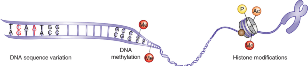 "DNA string wraps around histone ""bead"", before condensing further. The histone ""bead"" can have multiple chemicals tagged onto it (P, Ac or Me), which in turn changes the expression of DNA wrapped around it. From Nature Neuroscience 17, 192–200 (2014) doi:10.1038/nn.3628."