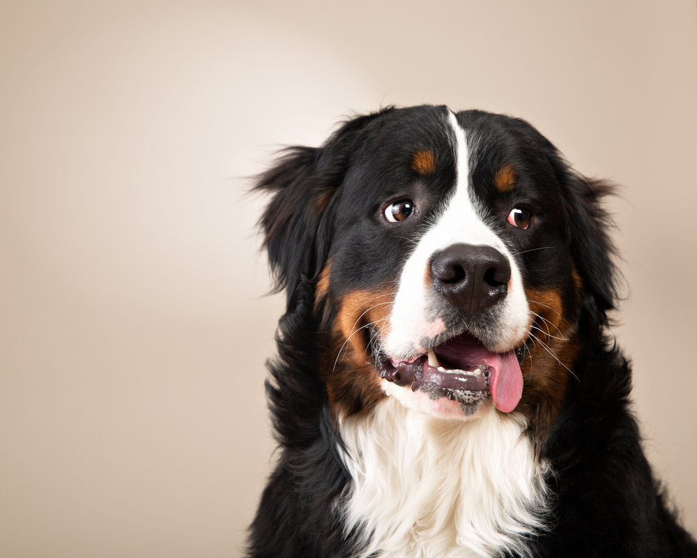 Adorable Burmese Mountain Dog puppy at his fundraiser photoshoot
