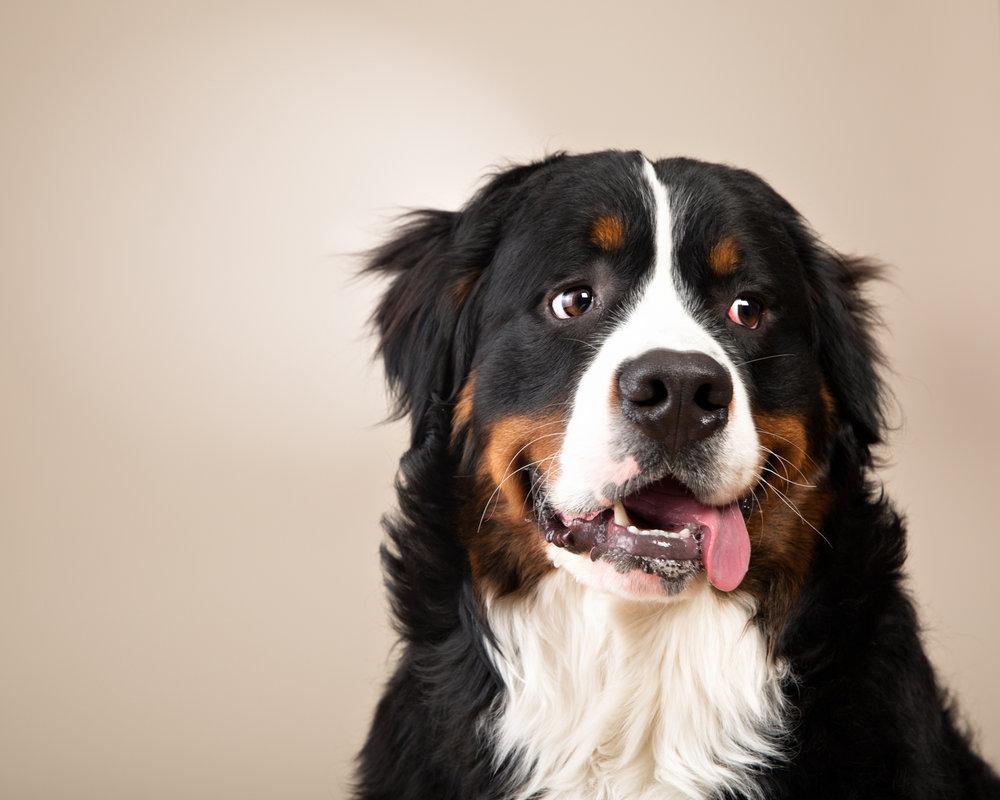 Adorable Burmese Mountain Dog puppy at his fundraiser photoshoot