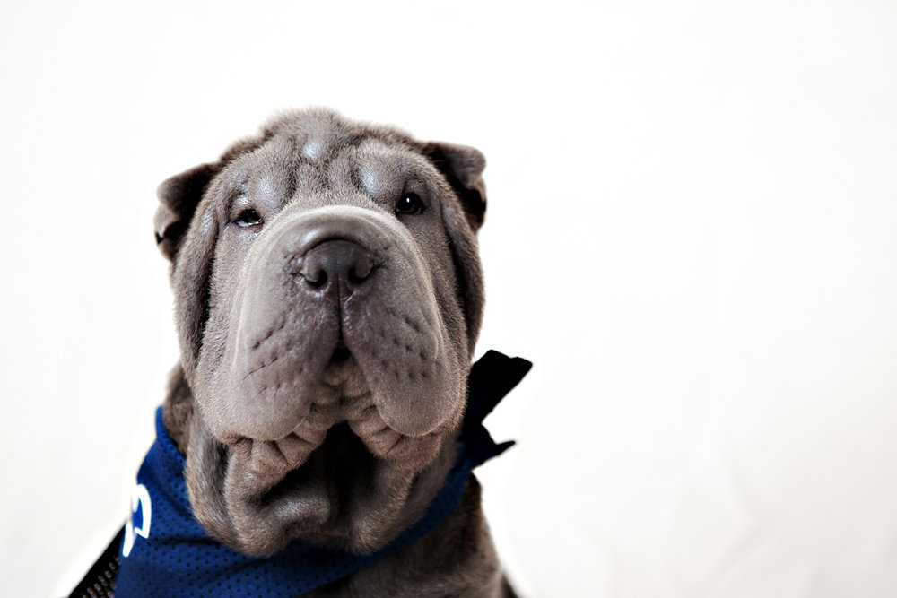 Sharpei posing at his photo shoot in portrait studio