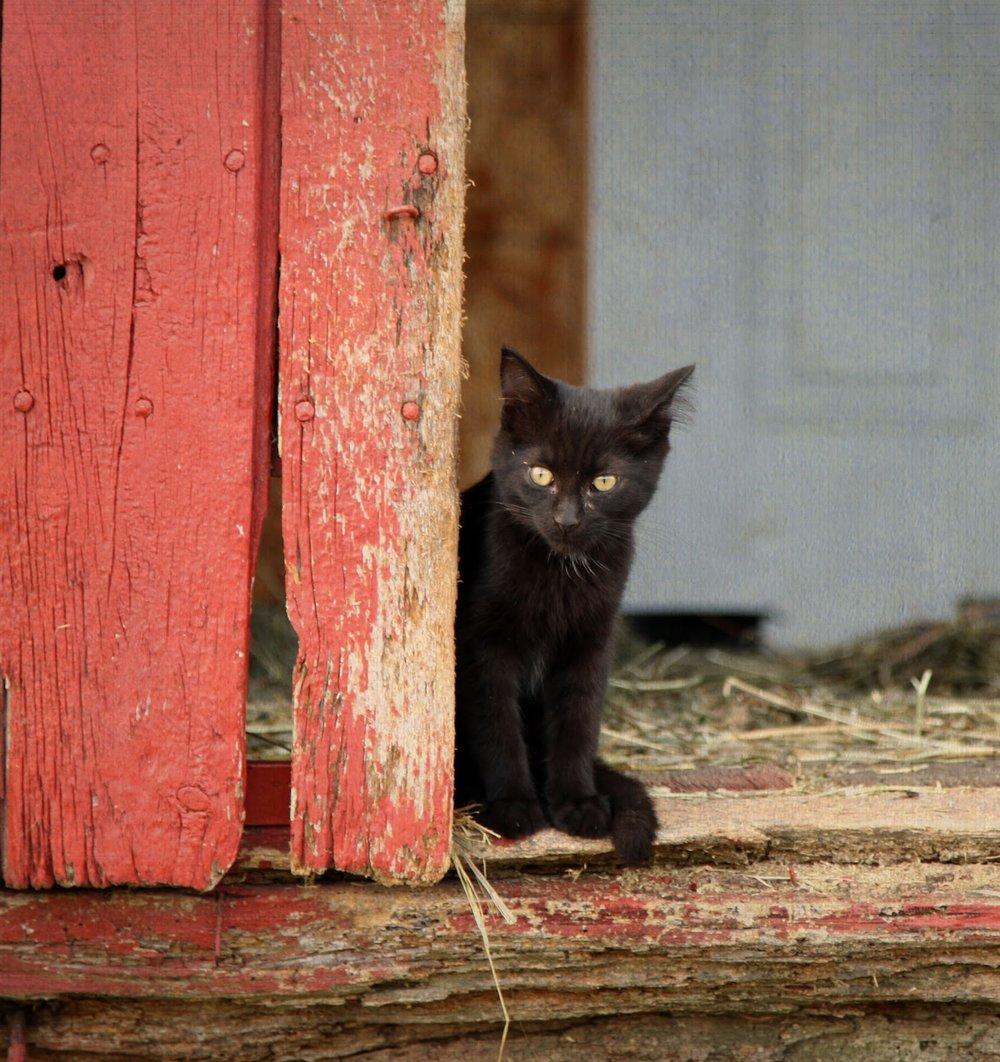 barncat2(1).jpg
