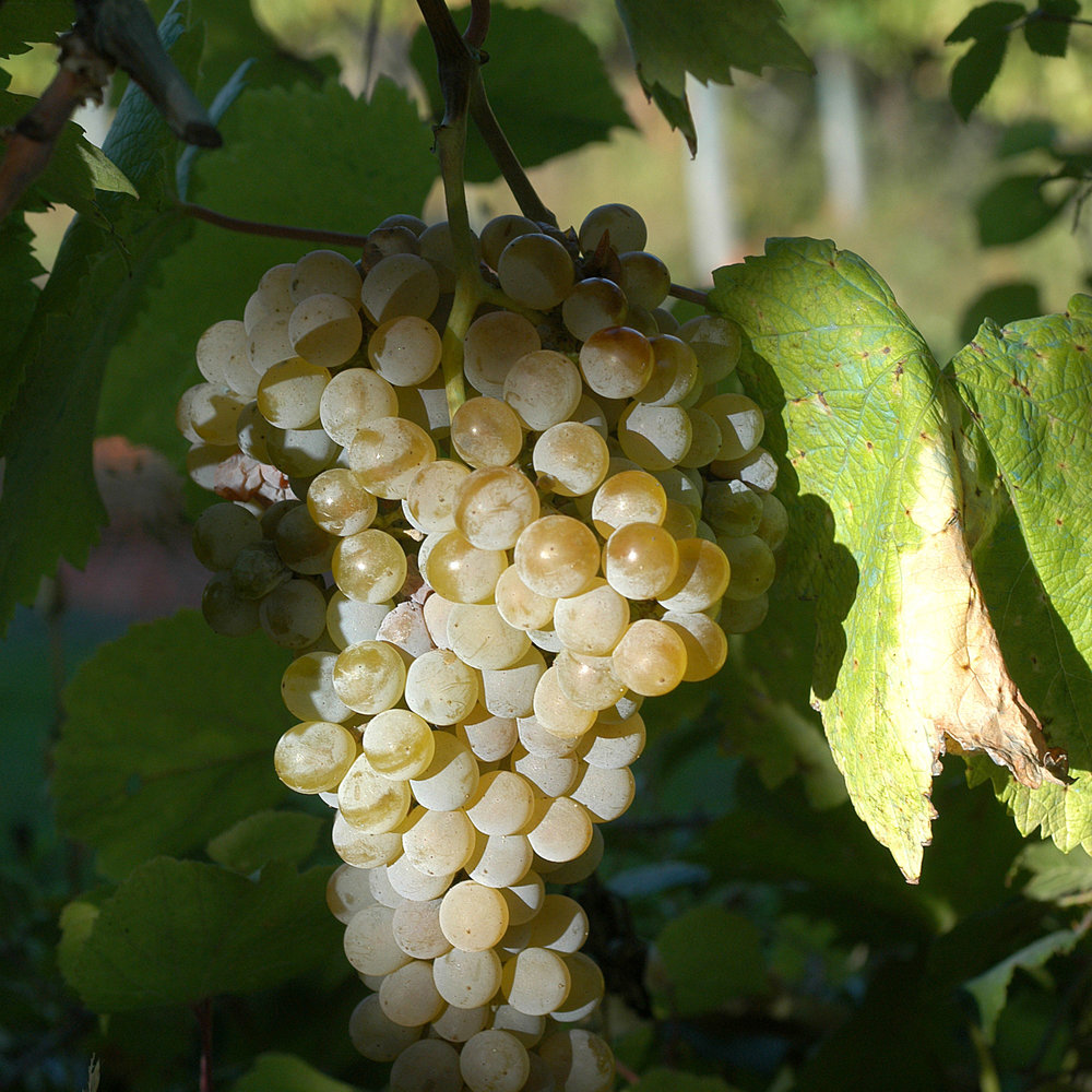 The Indigenous Grapes of Portugal -