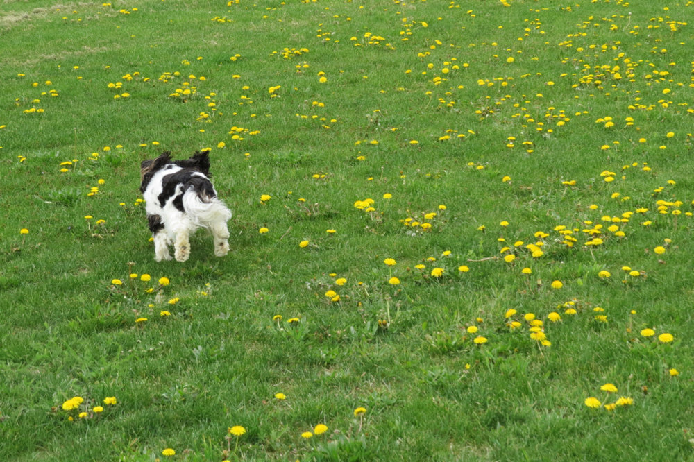 Agatha of Agatha's Apothecary running in a field of dandelions.