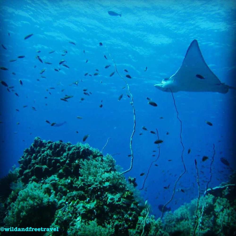 Scuba Diving with Eagle Rays
