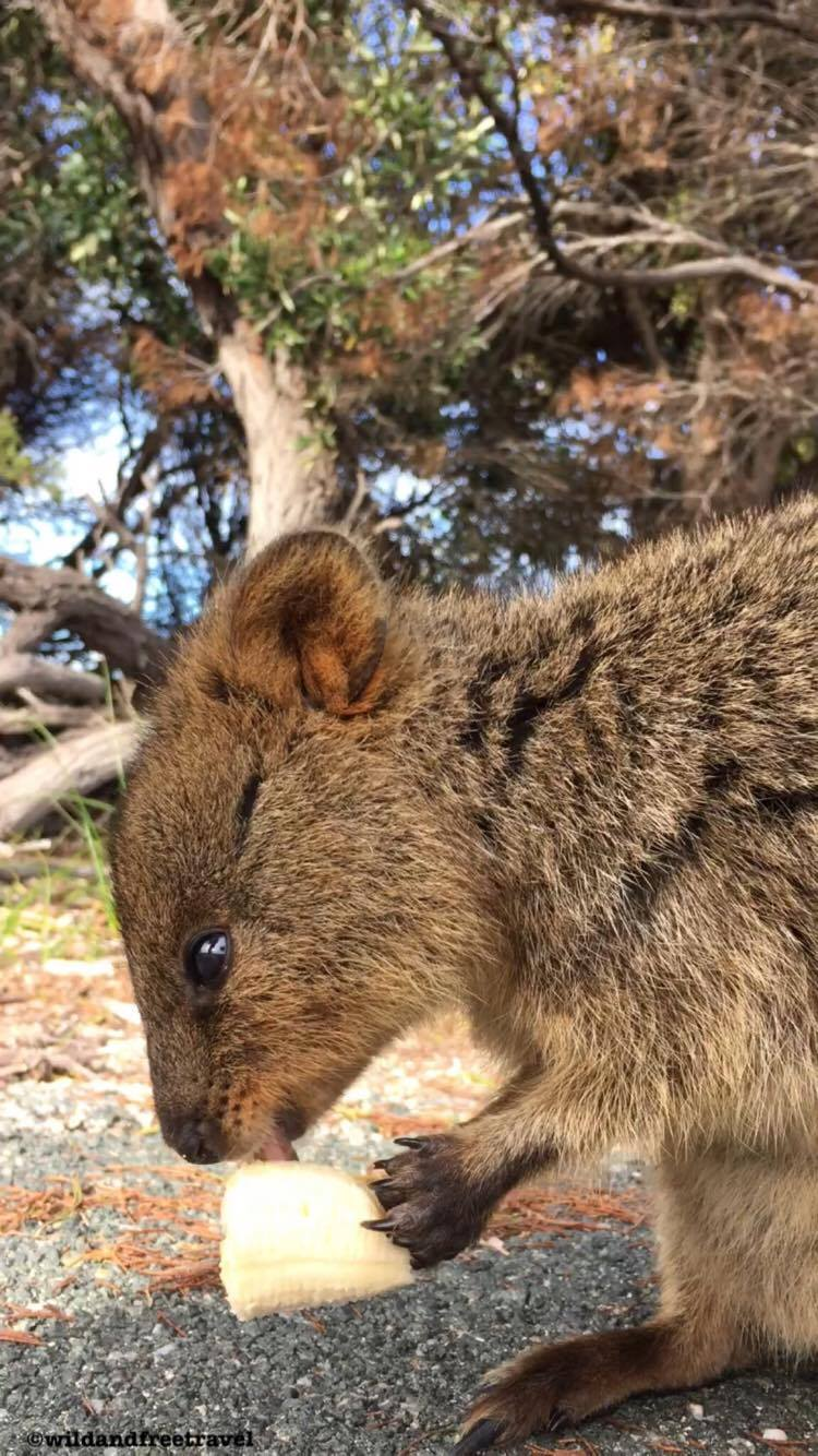 Quokka- Happiest animal in the world