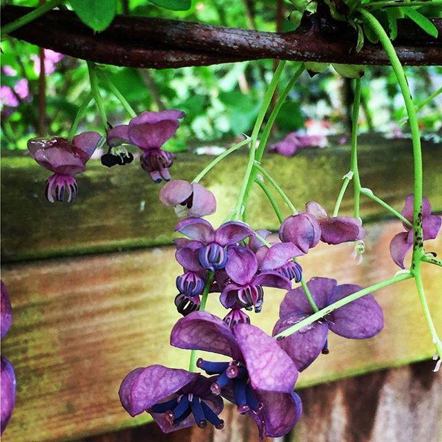 #akebia #floweringvine #westseattle #pnwgardening #gardening #urbangarden #instagardenlovers #gardensofinstagram #purpleflowers
