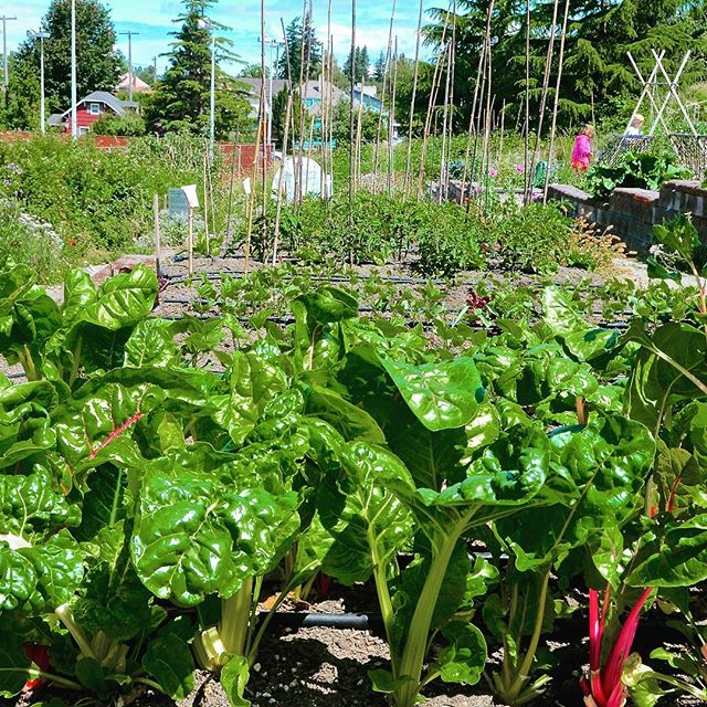 The Solstice P-Patch is hosting their largest and most diverse plant sale *ever* on Saturday as part of the #WestSeattleGarageSale. Over 100 plants organically grown in West Seattle, acclimated and ready to plant. Perennials, shrubs, ground covers,  unusual and rare plants, veggie starts, baked goods, fresh rhubarb stalks, & more. This is a fundraiser to support their Seattle Giving Garden and other P-Patch programs benefitting the community. *CASH ONLY* Located near Lincoln Park, at SW Webster & Fauntleroy Way SW. #wsgaragesale