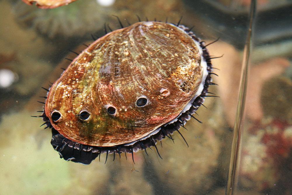 Abalone Shell study