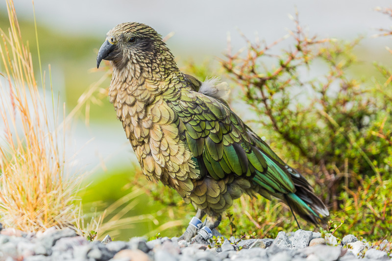 travel-tourism-kea-nestor-notabilis-parrot-arthurs-pass-christchurch-new-zealand.jpg