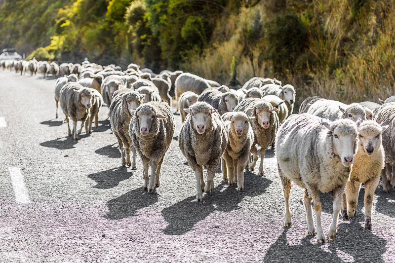 sheep-new-zealand-traffic-road-farming-agriculture-south-island.jpg
