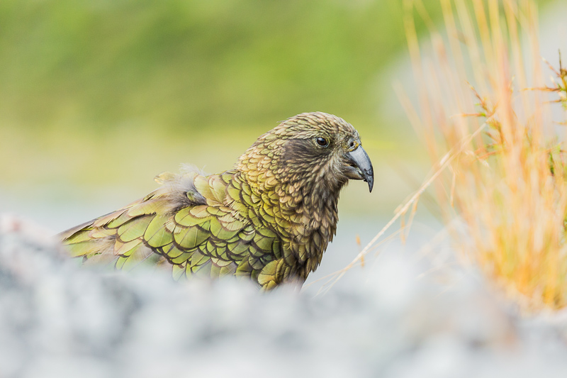 kea-nestor-notabilis-parrot-kiwi-new-zealand-south-island-arthurs-pass-travel-tourism.jpg