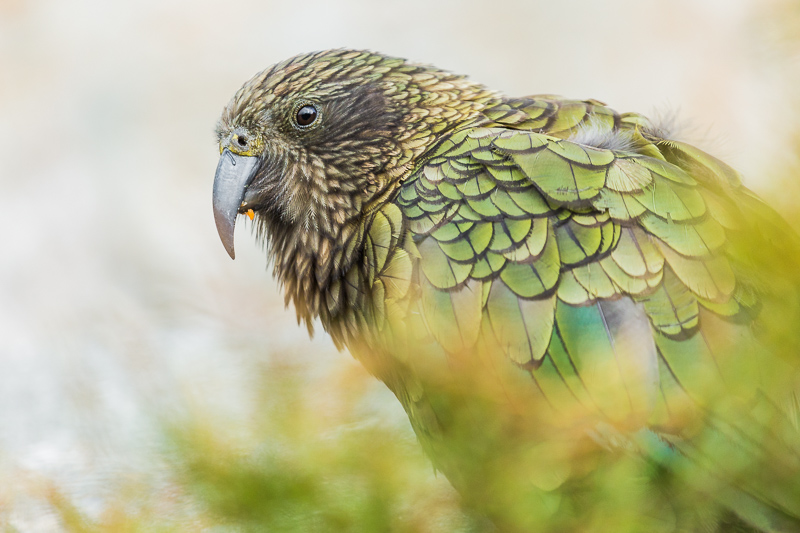 new-zealand-south-island-arthurs-pass-christchurch-parrot-nestor-notabilis-kea.jpg
