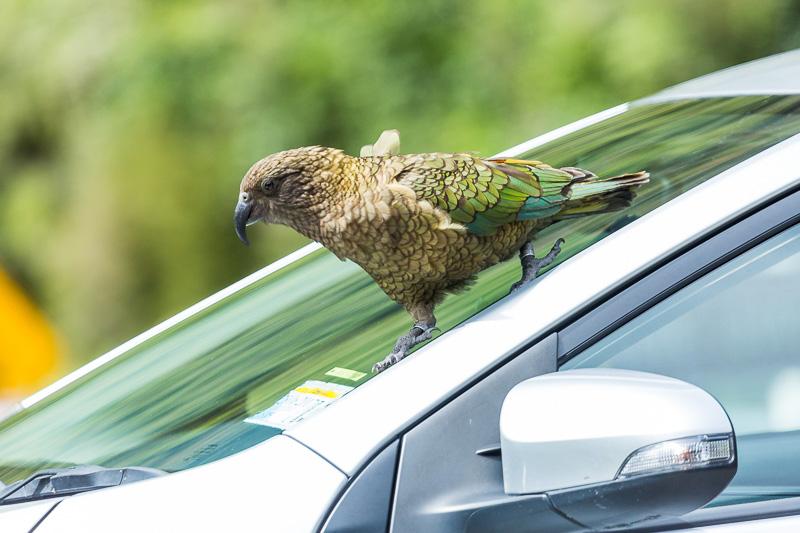 kea-nestor-notabilis-mischief-car-arthurs-pass-wild-wildlife-photography-amalia-bastos.jpg