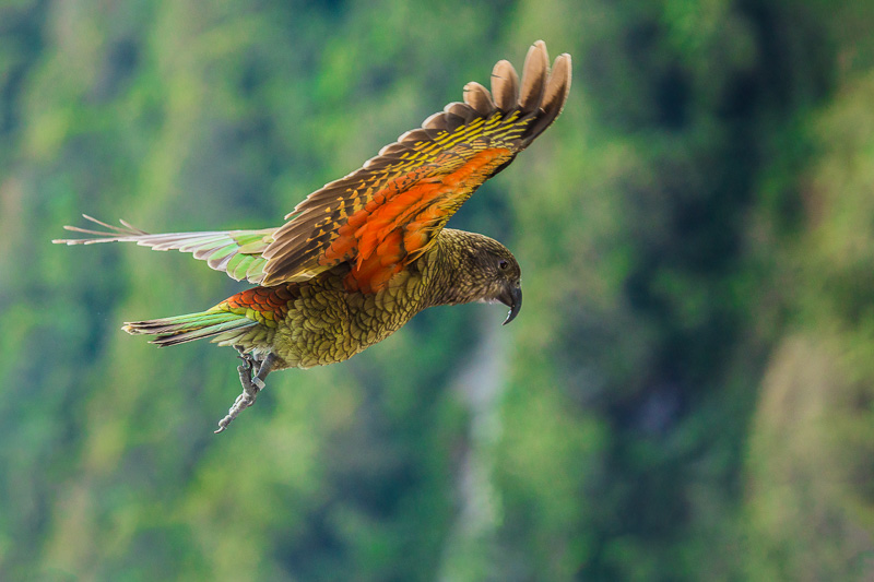 flying-kea-nestor-notabilis-parrot-new-zealand-kiwi-bird-birds-south-island.jpg