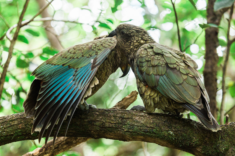 chick-parent-parents-kea-nestor-notabilis-wing-feathers-feeding.jpg