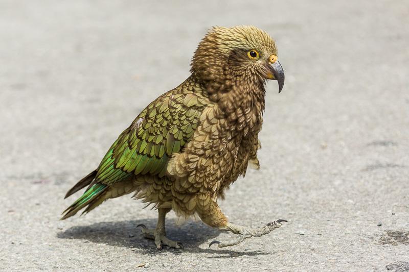 chick-nestor-notabilis-kea-juvenile-parrot-new-zealand-arthurs-pass.jpg