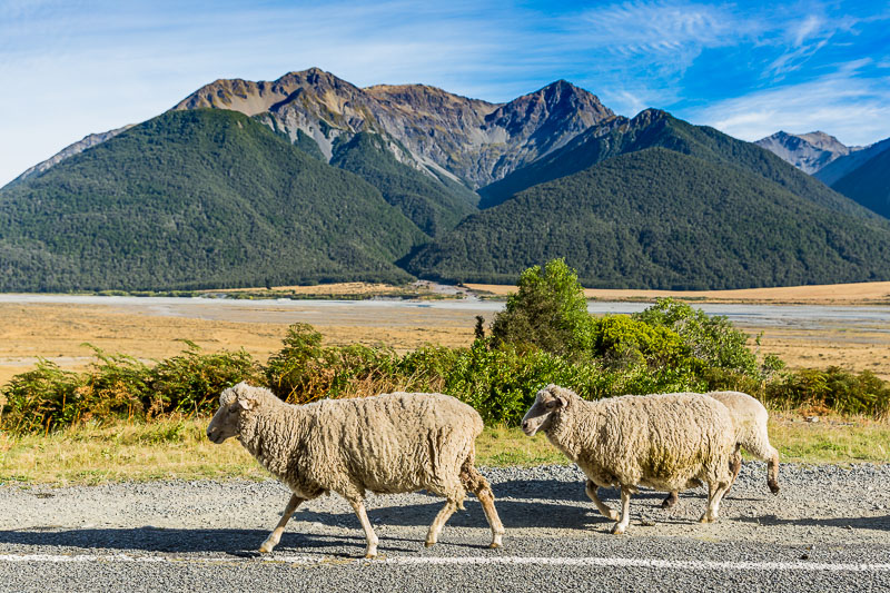 arthurs-pass-south-island-new-zealand-sheep-landscape-travel-tourism-trip-oceania.jpg
