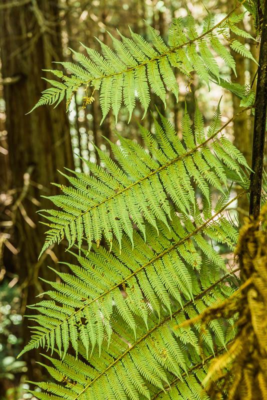 detail-leaves-fern-redwoods-treewalk-amalia-bastos-photography-new-zealand.jpg