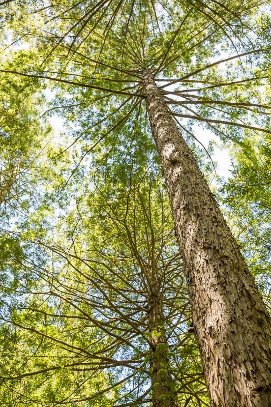 canopy-forest-redwoods-treewalk-north-island-new-zealand-amalia-bastos.jpg
