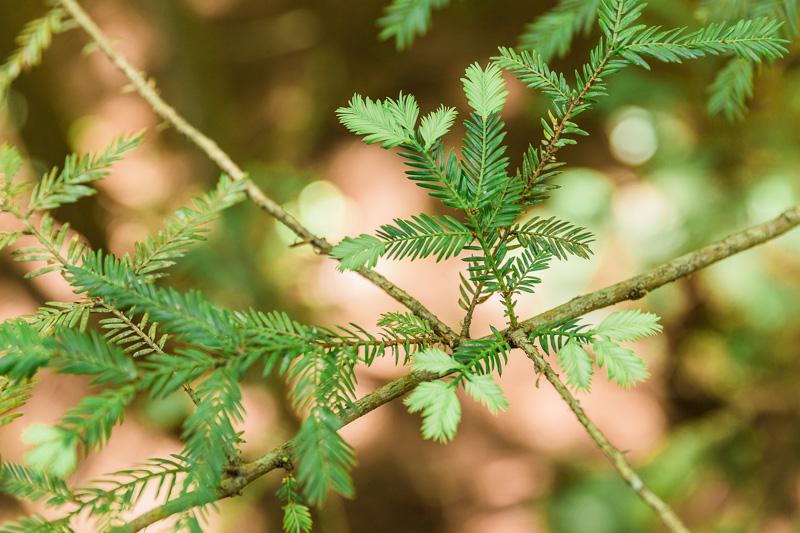 sequoia-sempervirens-leaves-redwoods-treewalk-new-zealand-amalia-bastos-photography.jpg