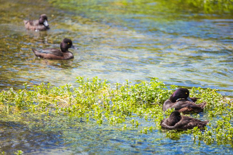 hamurana-springs-ducks-wildlife-birdwatching-photography-amalia-bastos-new-zealand-rotorua-north-islan.jpg