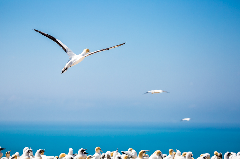 cape-kidnappers-australasian-gannet-birds-wildlife-photography-new-zealand.jpg