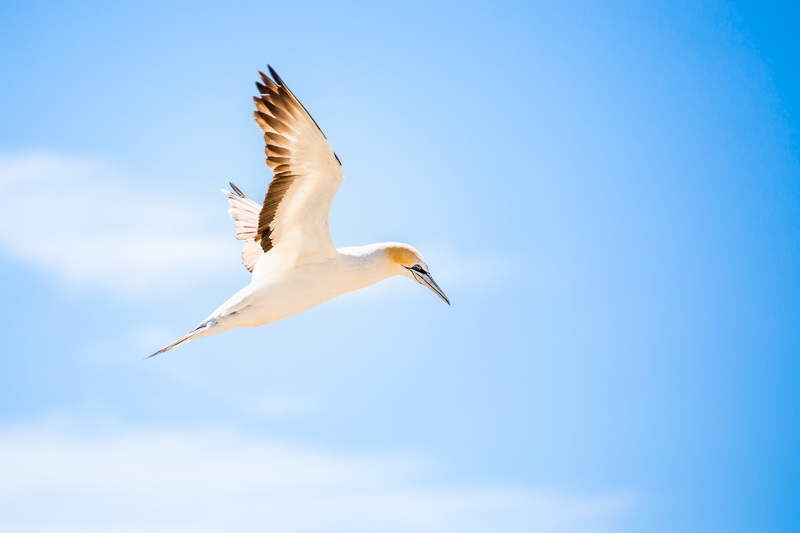 australasian-gannet-new-zealand-north-island-cape-kidnappers-wildlife.jpg