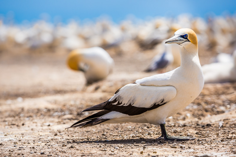 cape-kidnappers-colony-australasian-gannet-seabird-wildlife-photography-amalia-bastos.jpg