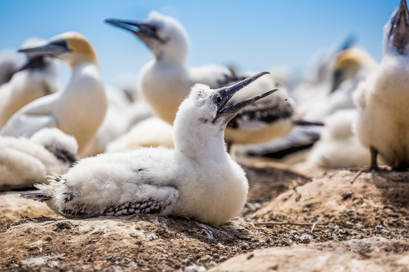 chick-australasian-gannet-colony-north-island-napier-cape-kidnappers-nz.jpg
