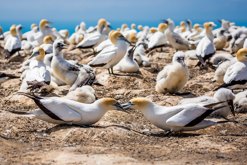 couple-new-zealand-australasian-gannet-safari-cape-kidnappers-north-island.jpg
