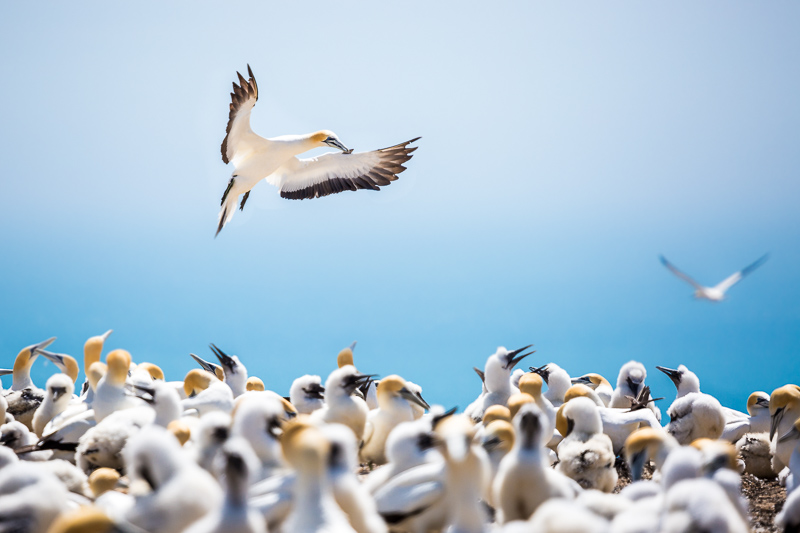 flying-gannet-fishing-new-zealand-cape-kidnappers-napier-north-island.jpg