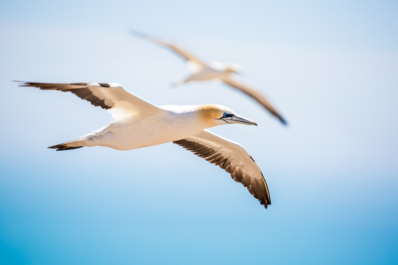 gannet-colony-australasian-new-zealand-wildlife-photography-flying-seabird.jpg
