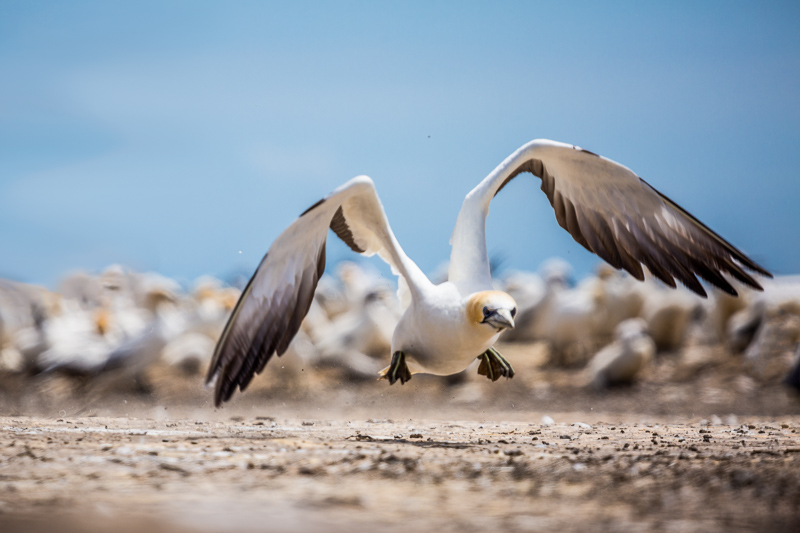 gannet-take-off-australasia-new-zealand-cape-kidnappers-north-island.jpg