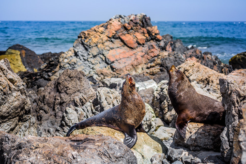 cape-palliser-sealions-wildlife-photographer-new-zealand-north-island-amalia-bastos.jpg
