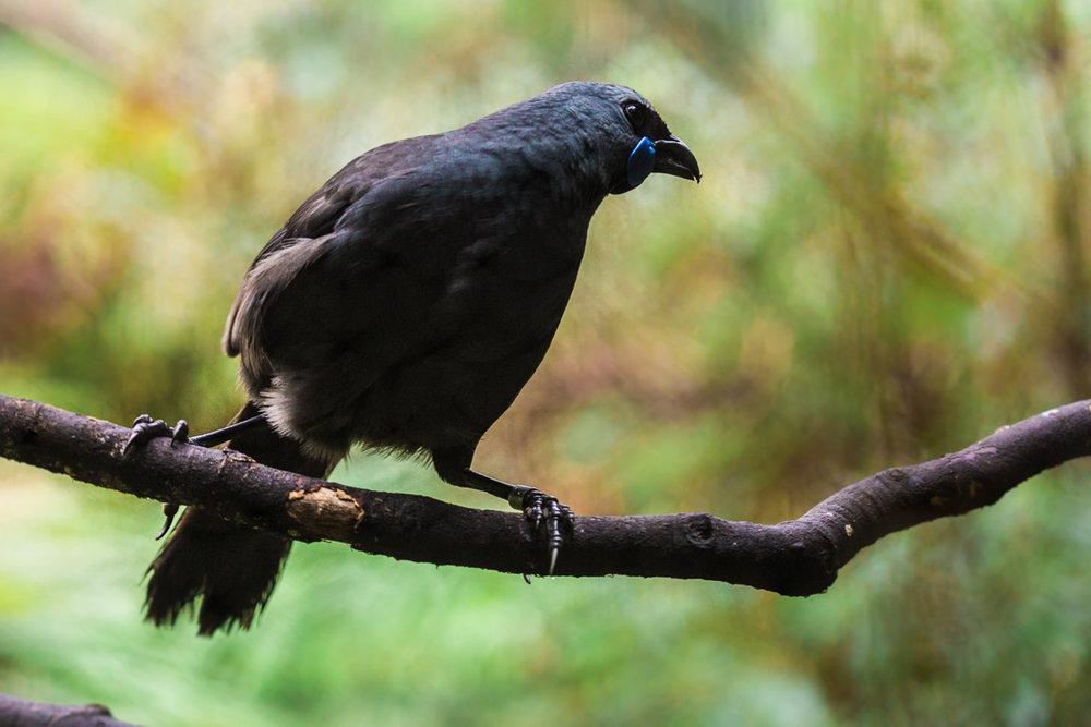 Callaeas-wilsoni-kokako-north-island-new-zealand-mt-bruce-wildlife-sanctuary.jpg