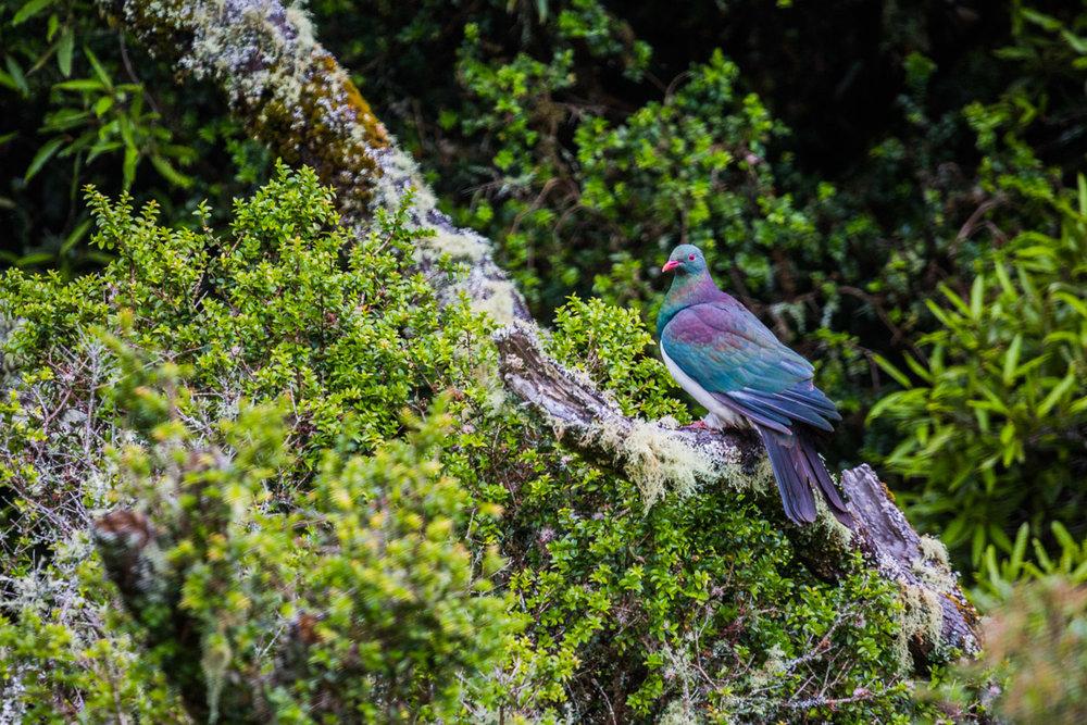 Hemiphaga-kereru-new-zealand-pigeon-wildlife-nz-north-island-birdwatching.jpg