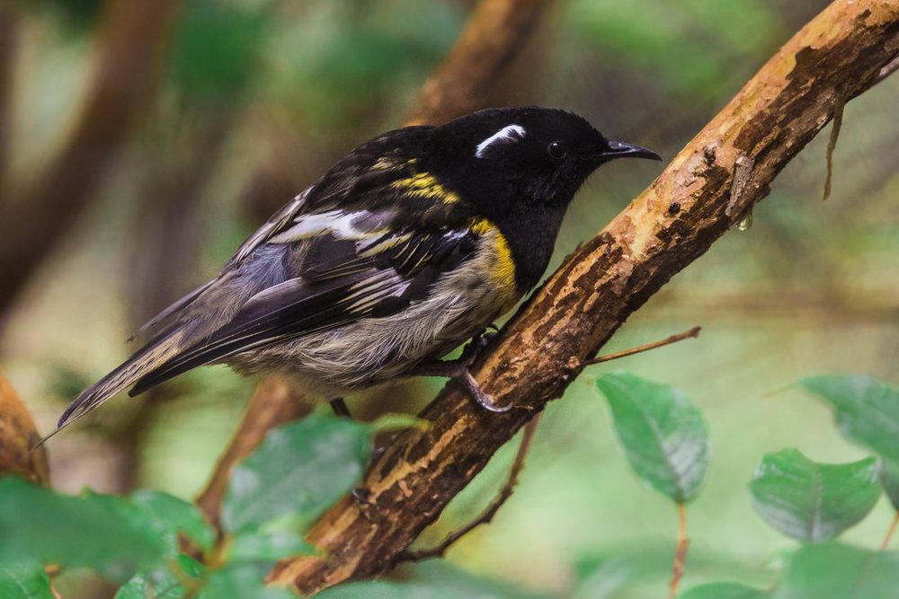 Notiomystis-cincta-hihi-stitchbird-new-zealand-forest-birds-wildlife-photography-mt-bruce.jpg