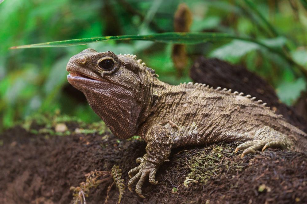 Sphenodon-punctatus-tuatara-reptile-new-zealand-nz-mt-bruce-wildlife-sanctuary.jpg