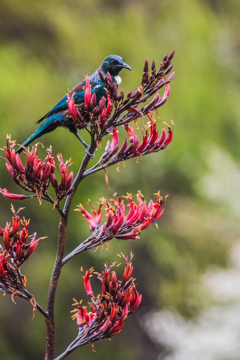Prosthemadera-novaeseelandiae-tui-bird-new-zealand-wildlife-photographer-mt-bruce-birdwatching.jpg