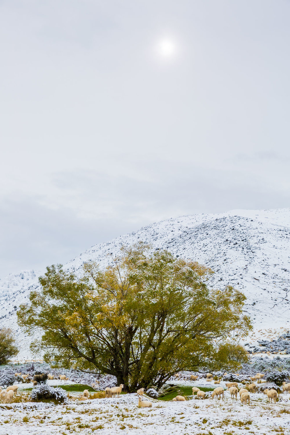 farm-morning-lake-tekapo-fresh-snow-snowfall-storm-autumn-crisp-cold-sheep.jpg