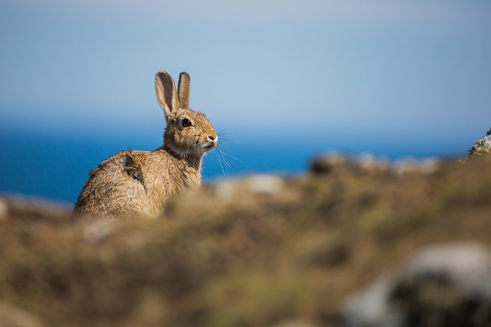 hare-rabbit-isle-of-may-scotland-UK-st-andrews-wildlife-photography-island-ecology.jpg