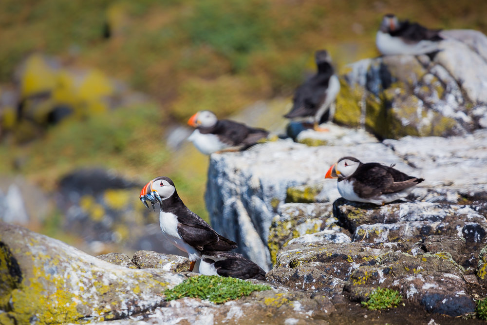 atlantic-puffin-common-fratercula-arctica-isle-of-may-colony-UK-scotland-wildlife-photography-travel-birdwatching-birding.jpg