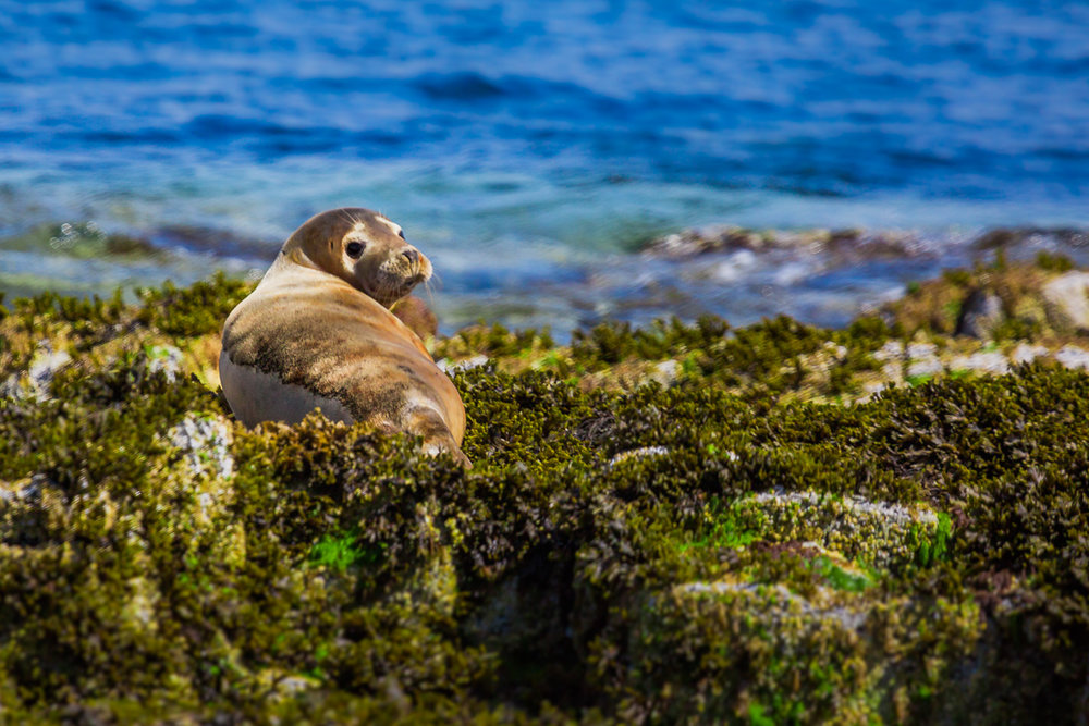 halichoerus-grypus-grey-seal-photography-photograph-image-amalia-bastos-travel-isle-of-may-scotland-uk-st-andrews.jpg