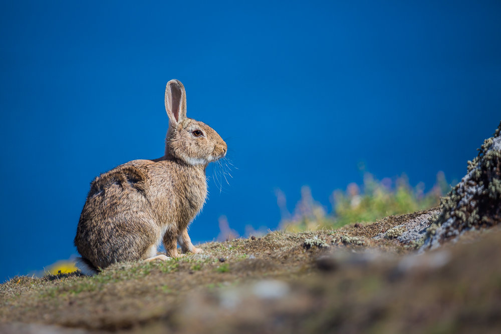 isle-of-may-st-andrews-scotland-wildlife-sightseeing-tour-ferry-cruise-princess-may-hare-rabbit.jpg