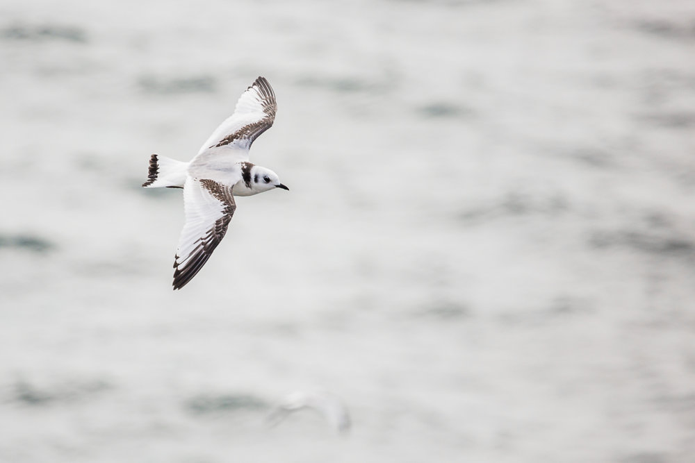 Rissa-tridactyla-black-legged-kittiwake-juvenile-flight-flying-isle-of-may-white-gray-black-bird-ocean-flight-scotland-fauna.jpg
