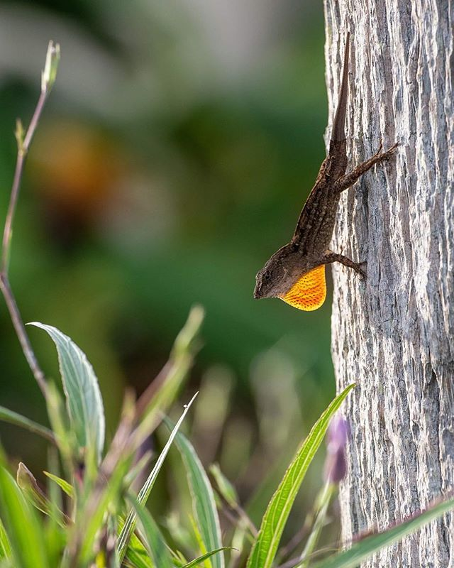 This Anole Brown Lizard and I had a little stare down yesterday for a few minutes until he allowed me to capture a picture of him puffing his neck out.  #naturephotography #photography #cute #sky #summer #adventure #photo #picoftheday #amazing #beauty #explore #naturelover #daytime #branch #closeup #nikon #tree #color #forest #exotic #animals #geckos #pet #reptilelove #love #beauty #coldblooded #lizardlove #gecko #animallover #ecosystems