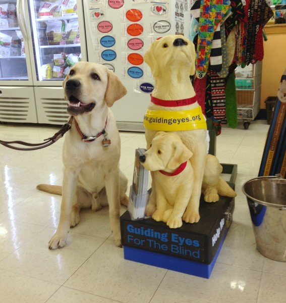 Guiding Eyes for the Blind Donation Dog