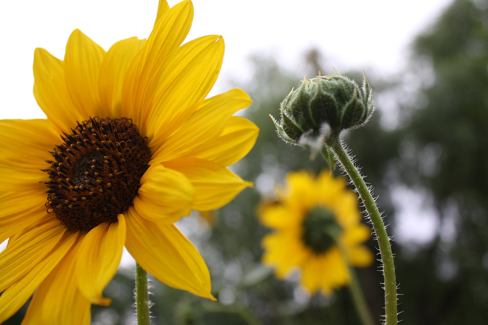 Sunflowers near The Rio Grande, New Mexico, USA