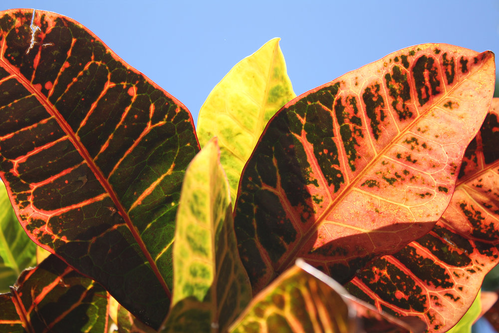 Bright leaves in Wailea,Maui, Hawaii, USA
