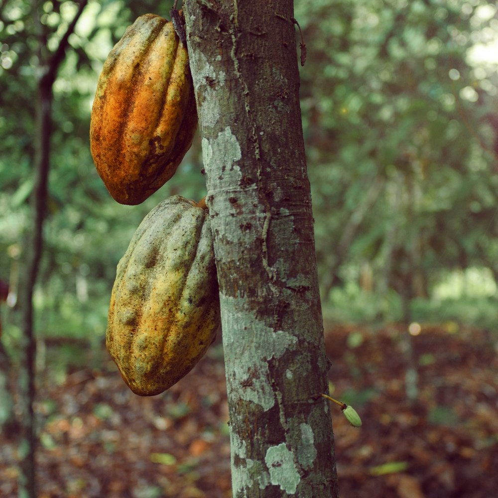 CACAO SESSION -